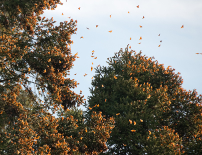 Monarch butterflies cluster together as they overwinter in Mexico.