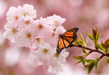 Cherry blossom with resting monarch in Washington DC