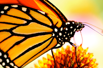 Close up photo of a Monarch Butterfly nectaring in West Virginia.